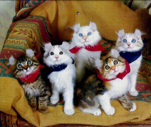 Пятеро котят кёрла