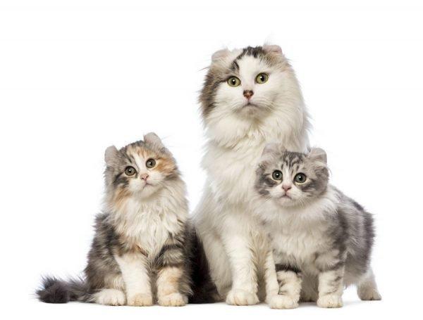 Кошка кёрл с двумя котятами