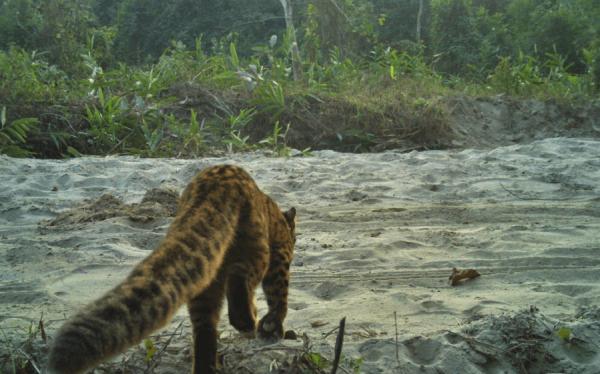 Мраморная кошка со спины