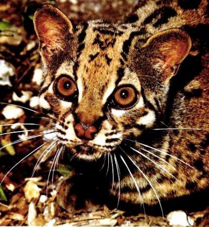 Морда мраморной кошки
