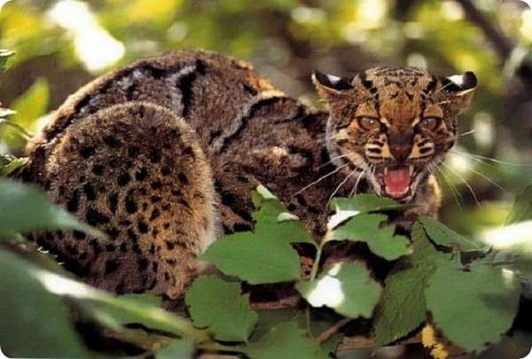 Мраморная кошка показывает зубы