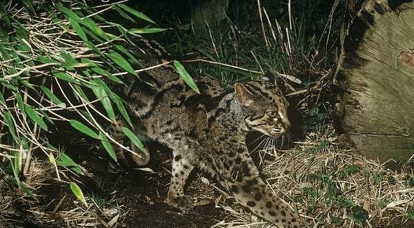 Мраморная кошка на охоте