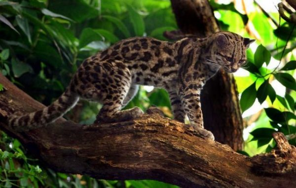 Мраморная кошка на дереве