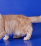 Кёрл персиковый