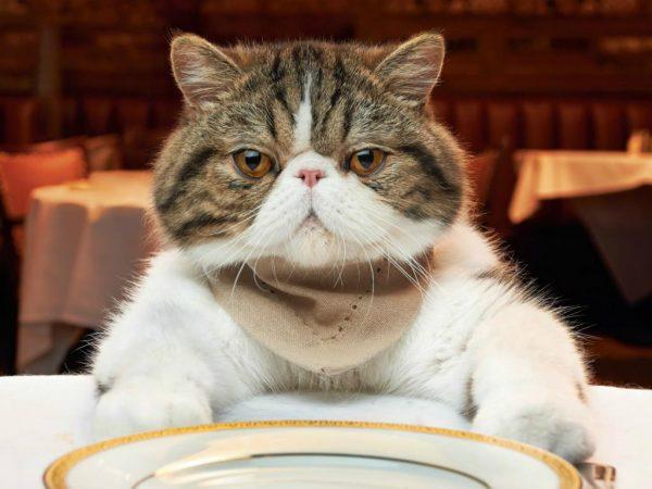 Кот и пустая тарелка перед ним