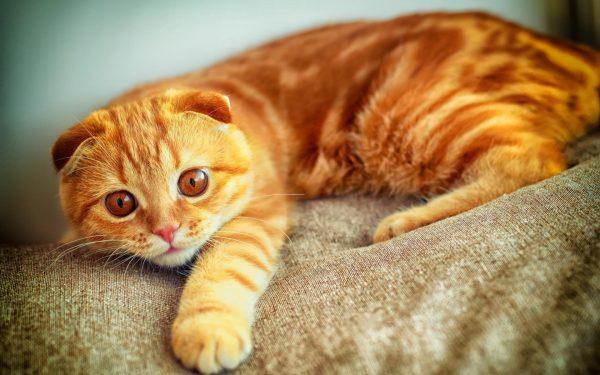 Рыжий кот на диване