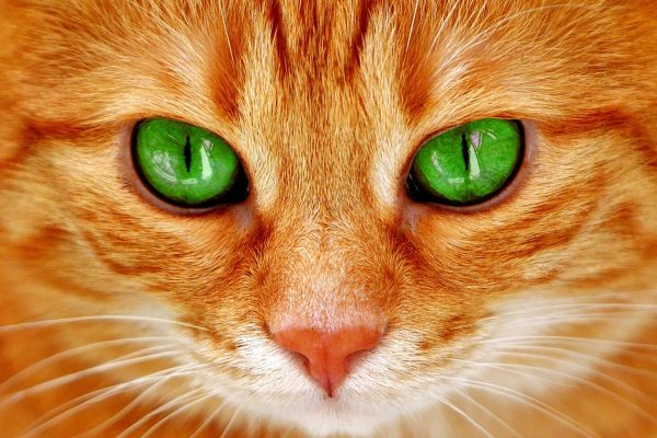 Рыжий кот крупным планом