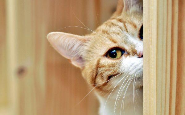 Рыжий кот выглядывает из-за двери
