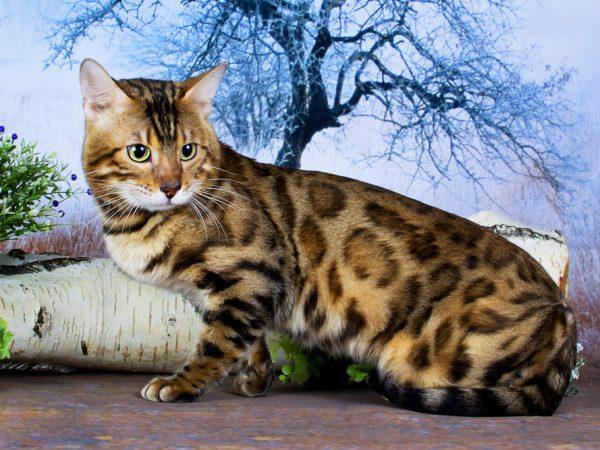 Браун бенгальские кошки