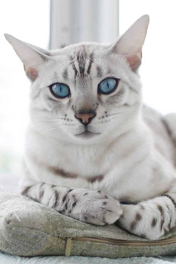 Снежный окрас бенгальских кошек