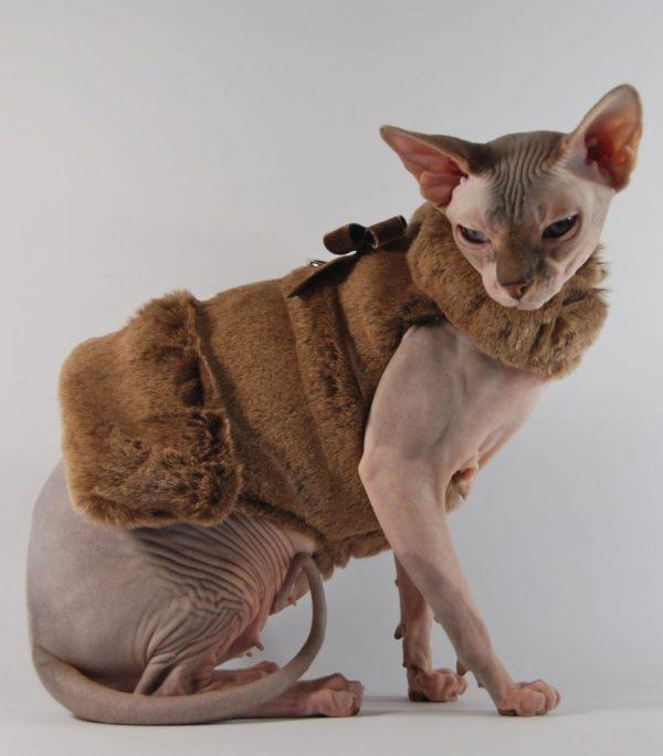 Лысый кот в одежде