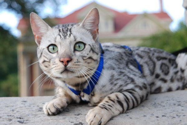Серебристый бенгальский кот