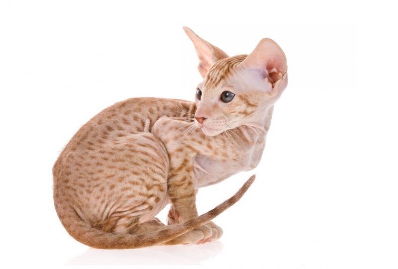 Кому подходит порода кошек петерболд