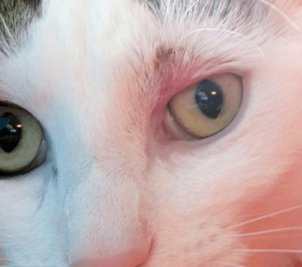Розовый лишай у кошки