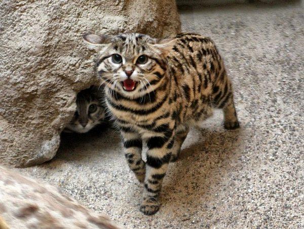 Дикая азиатская леопардовая кошка