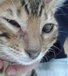 Воспаление конъюнктивы у котёнка бенгальской породы