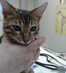 Котёнок бенгальской породы