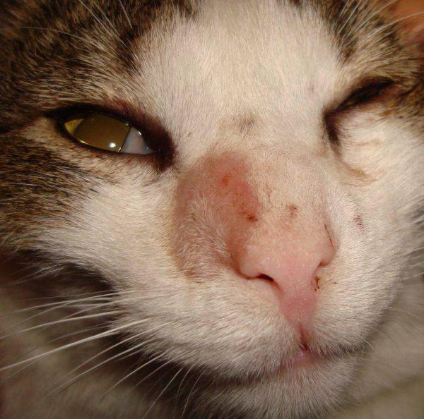 Стригущий лишай у кота