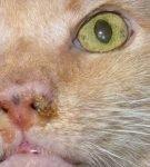 Гнойные выделения из носа у кота