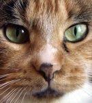 Пигментное пятно на носу у кошки