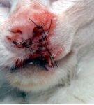 Вид морды кота после радикальной операции по поводу плоскоклеточного рака
