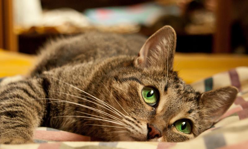 Как извлечь клеща из тела кошки