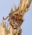 Клещ Dermacentor reticulatus
