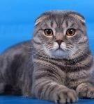 Кошка породы скоттиш фолд