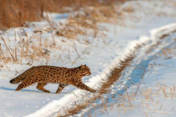 Амурский лесной кот переходит дорогу в зимнем лесу