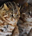 Пара дальневосточных котов сидит в укрытии