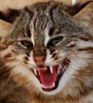 Амурский кот шипит, открыв пасть с клыками