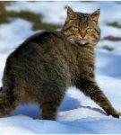 Амурский кот стоит на снегу и оглядывается назад