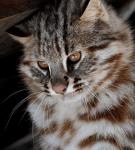 Амурский кот сидит и смотрит сверху вниз