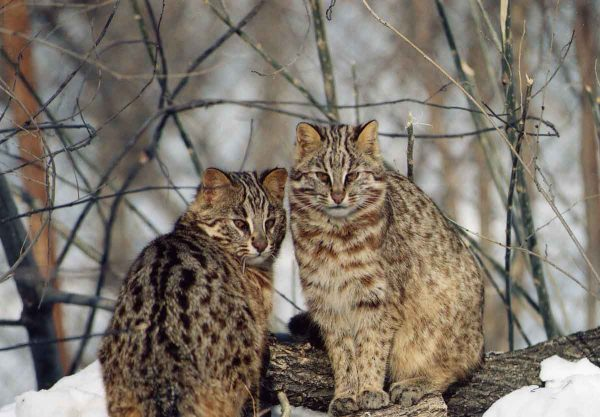 Два амурских кота сидят на снегу