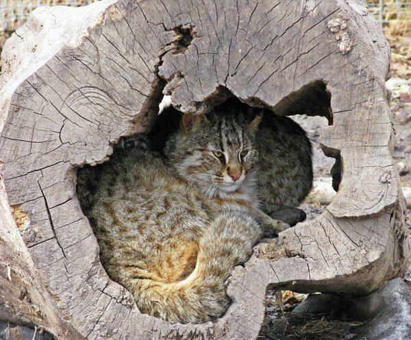Амурский лесной кот спрятался в дупле дерева