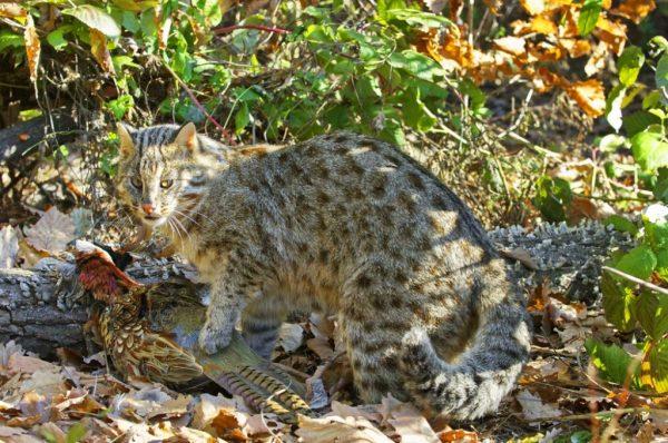 Амурский лесной кот поймал фазана
