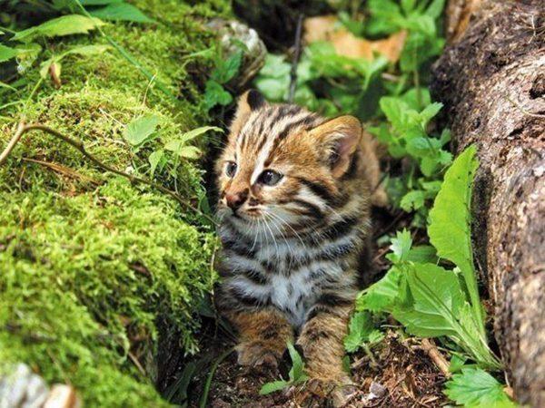 Котёнок амурского лесного кота идёт по углублению между болотными кочками