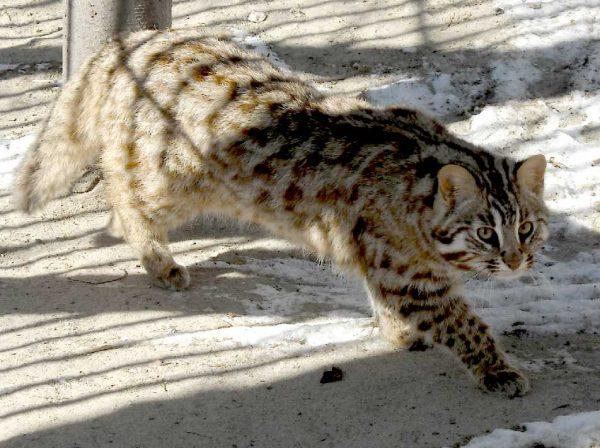 Амурский лесной кот идёт по участку вольера