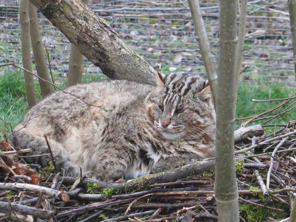 Амурский лесной кот лежит на ветках в вольере