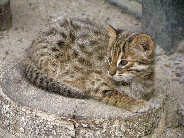 Амурский лесной котёнок лежит на спиле дерева