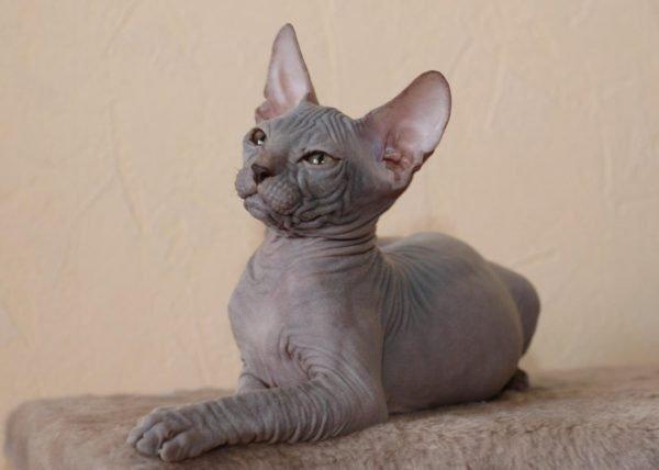 Лежащая кошка породы сфинкс