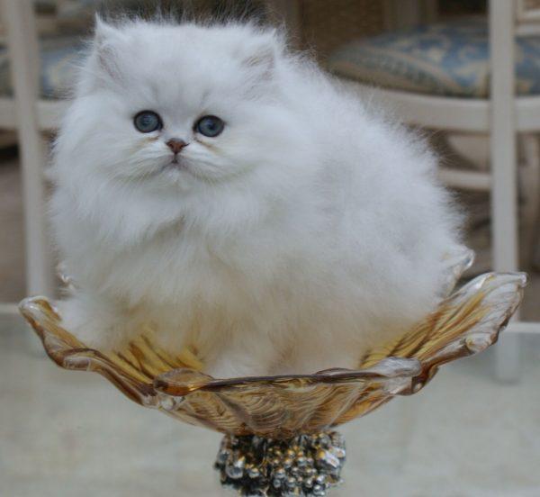 Котёнок персидской породы сидит в вазе