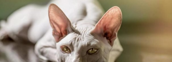 Кошка породы сфинкс лежит на столе