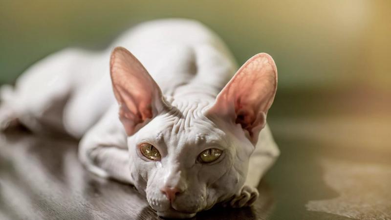 """Черные точки на подбородке у кошки: как лечить в домашних условиях — """"Лапы и Хвост"""""""
