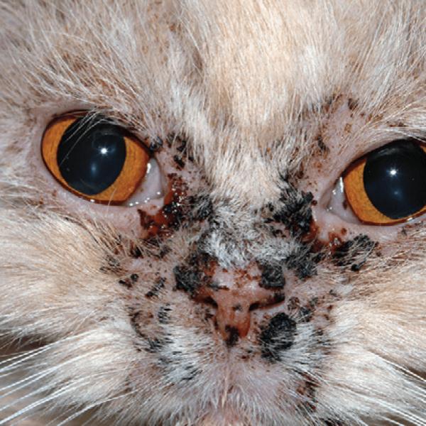 Лицевой идиопатический дерматит персидских кошек