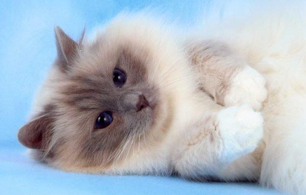 Бирманский котёнок лежит на голубом фоне