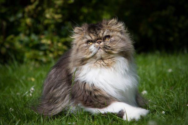 Коричнево-белый персидский кот сидит на траве и смотрит вверх