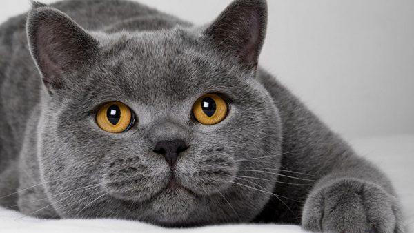 Британский кот лежит на животе, вытянув переднюю лапу и глядя вверх