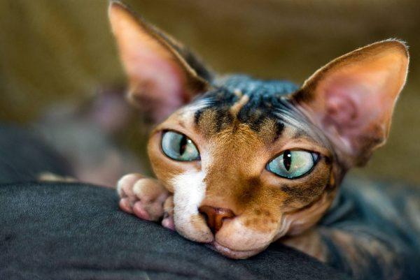Трёхцветный сфинкс с голубыми глазами лежит, положив морду на лапы