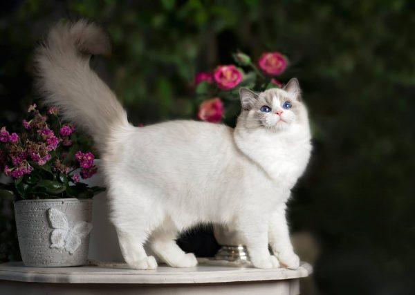 Кошка породы регдолл стоит на столе с горшками цветов